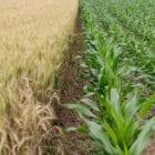 crops grain pesticides